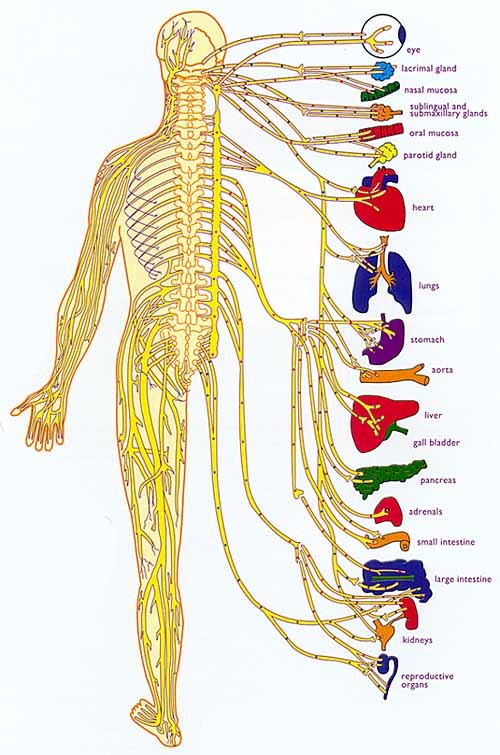 Chiropractic clears interference in the nervous system. When the nervous system is clear it can better coordinate all the functions of the body, including the immune system.